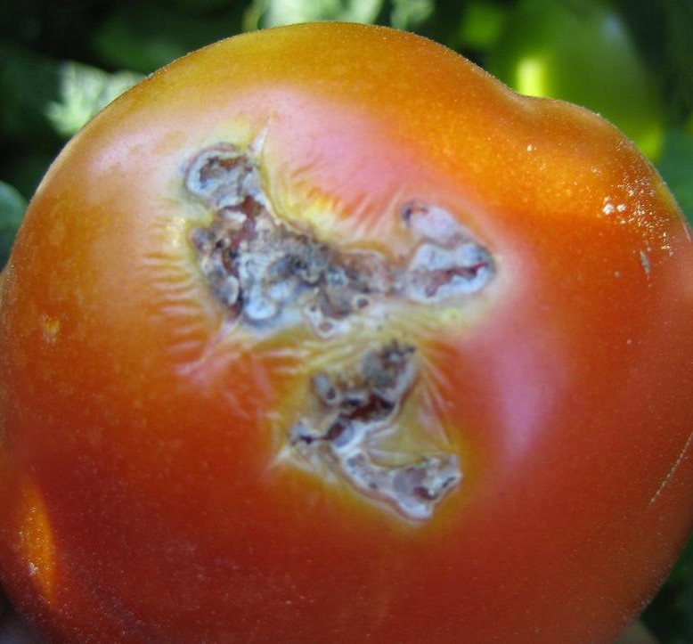 CTI Products for other pests besides Tuta Absoluta that attack tomatoes