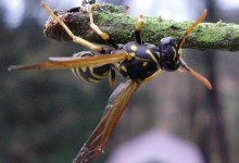 574px-Western_yellowjacket