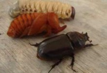 Three_stages_rhinoceros_beetle