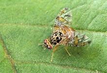 mediterranean_fruit_fly
