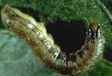 cutworm2