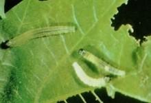 leafroller10